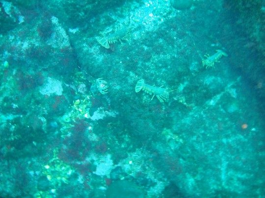 Rock lobsters on the Maori