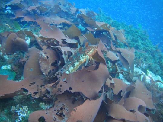 Klipfish on the Maori