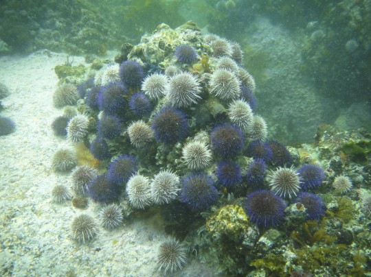 Urchins at Fisherman's Beach