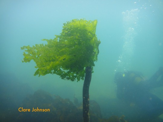 Sea lettuce attached to the end of a kelp stem