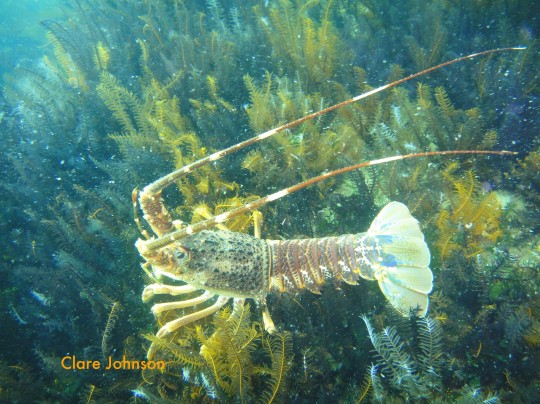 Lobster on a wreck at Long Beach