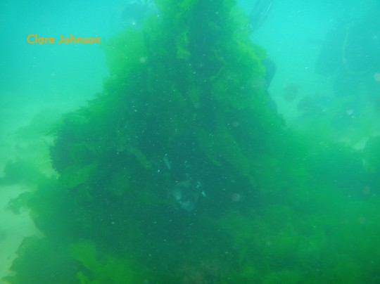 Sea lettuce on the kinked anchor chain at Long Beach