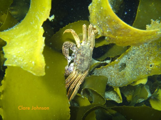 Cape rock crab in the kelp at Long Beach