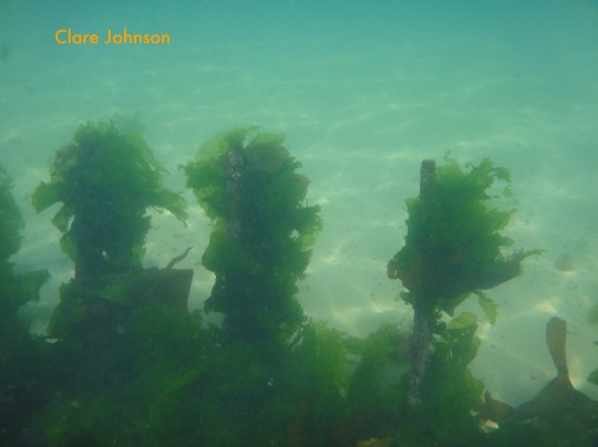 Sea lettuce on the wooden wreck at Long Beach