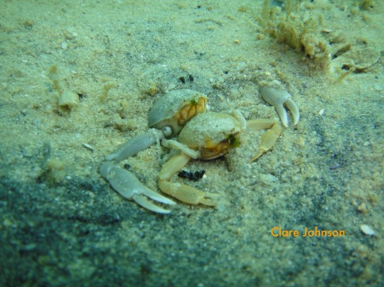 Embracing button crabs at Long Beach