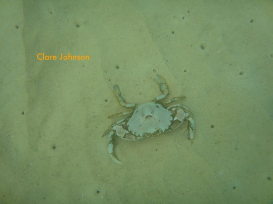 Three spot swimming crab in the shallows