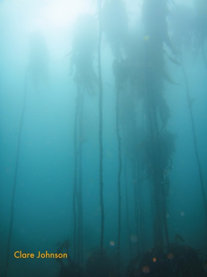 Ten metre tall kelp plants at Shark Alley near Pyramid Rock