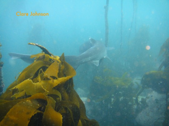 Sevengill cowshark disappears into the kelp at Shark Alley