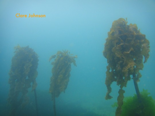 Kelp growing at Long Beach