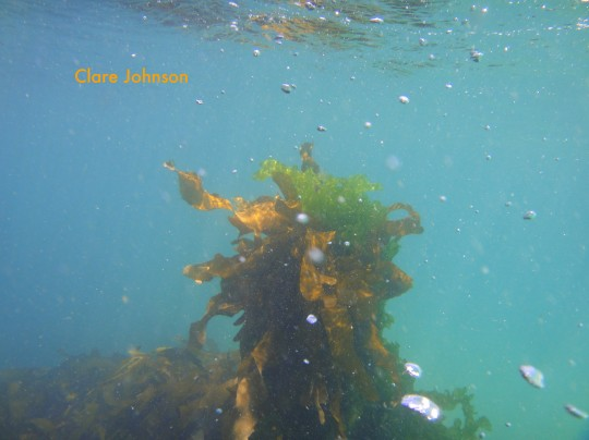 Opportunistic sea lettuce hitching a ride to the surface sunlight on a kelp plant
