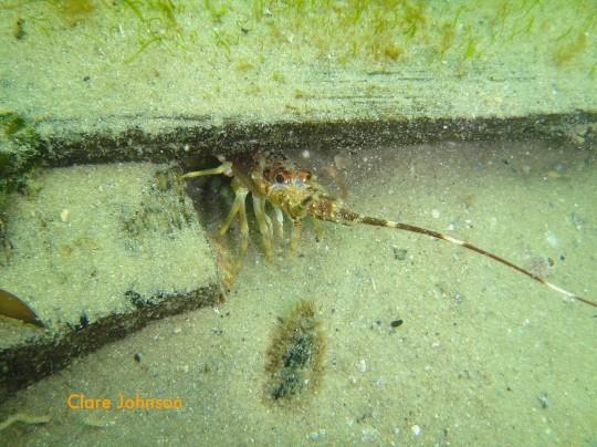 Small rock lobster at Long Beach