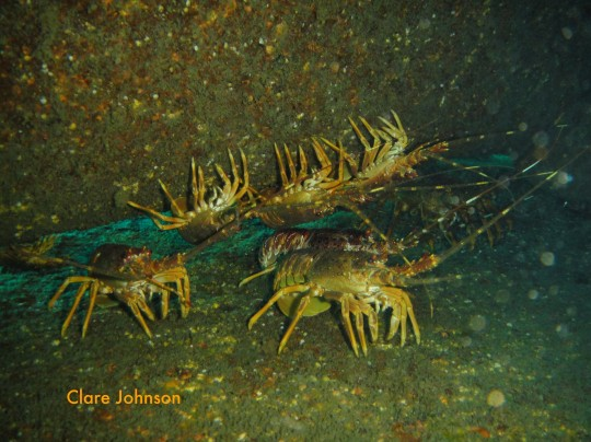 West coast rock lobster on the BOS 400 wreck