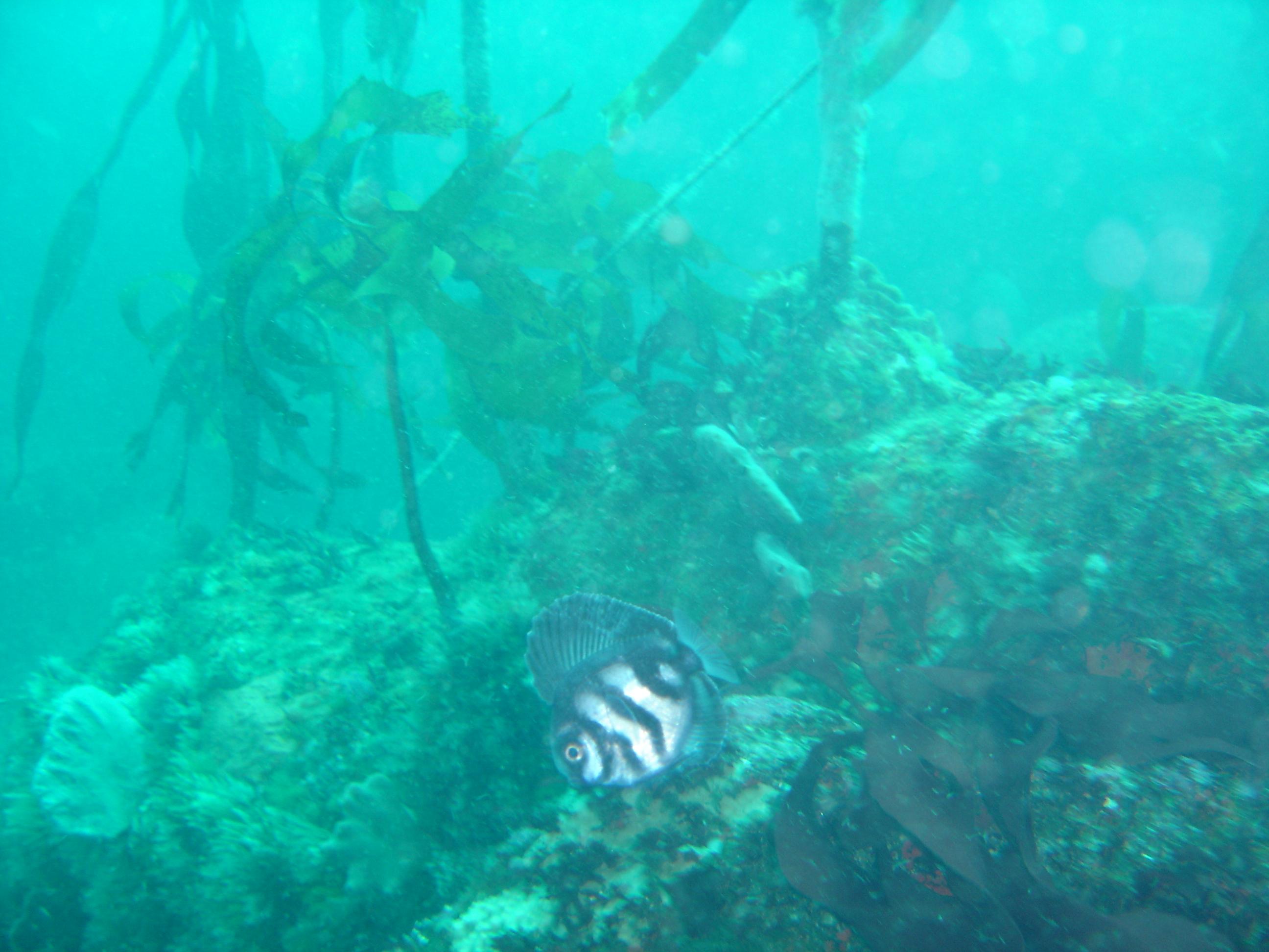 Manefish (Caristius groenlandicus)