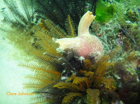 Sea squirt at Long Beach