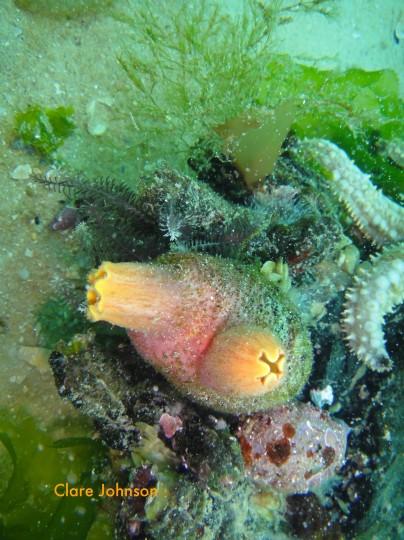 Heart shaped sea squirt at Long Beach
