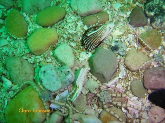 Brittle stars at Partridge Point
