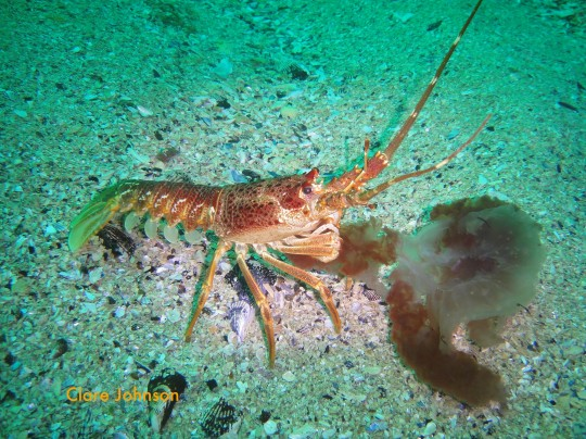 Rock lobster munching a sea jelly