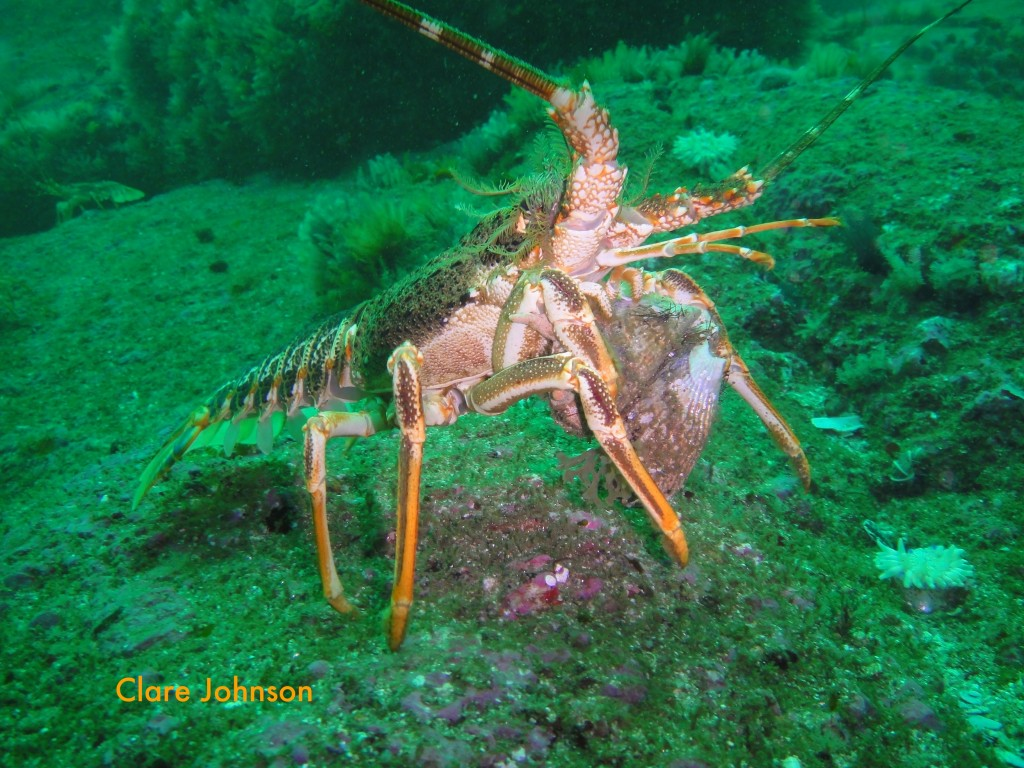 Rock lobster carrying mussels