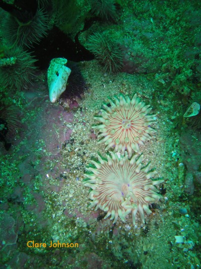 Violet spotted anemones at North Paw