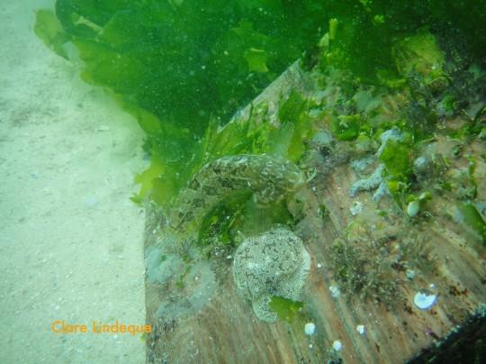 Klipfish and warty pleurobranch