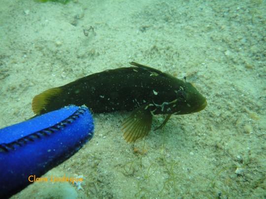 Friendly klipfish