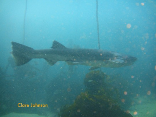 Cowshark with missing caudal fin