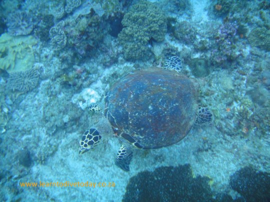 Green turtle on southern Pinnacles
