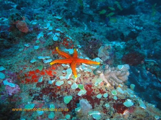 Sea star at Hotspot