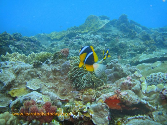 Anemone fish at Four Buoy