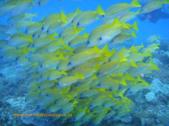 Yellow banded snapper at Stringer