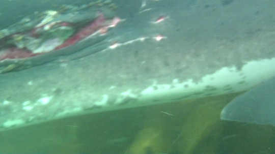 Deep gouge on the shark with the propellor wound (video still)