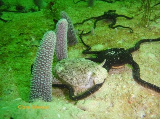 Warty pleurobranch walking over a brittle star