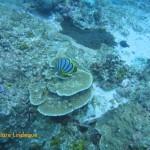 Maypole butterflyfish, feeding