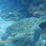 Green turtle on the move