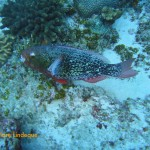 A female ember parrotfish munching on coral