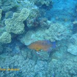 Coral rockcod on the move