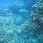 A sleeping green turtle is visited by another one