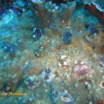 Fanworms dotting a piece of coral