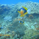 Anemone fish and their home