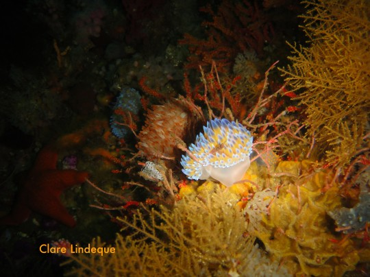 Blue gas flame nudibranch on the Rockeater