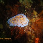 Blue gas flame nudibranch