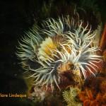 Striped sea anemone