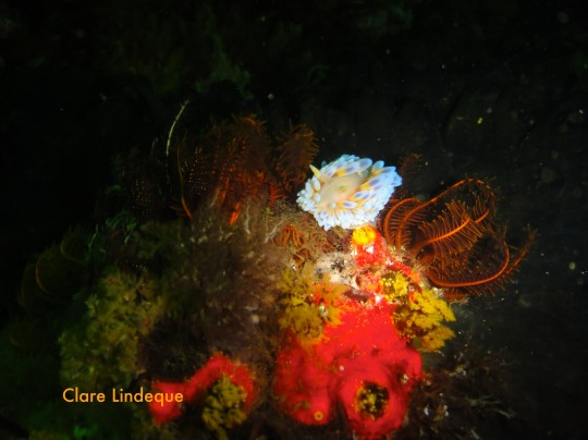 Blue gas flame nudibranch with cerata visible