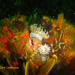 Anemones among sea squirts