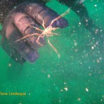 A sea spider passing by