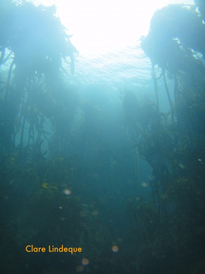 Top to bottom visibility in the kelp forest