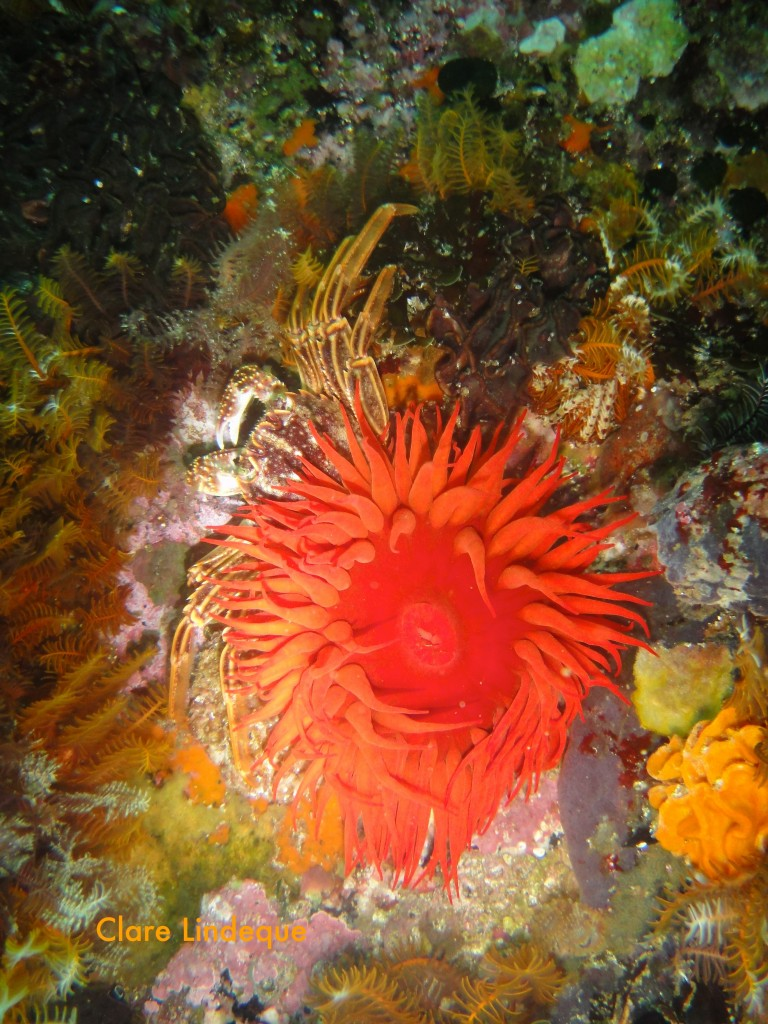 Anemone and Cape rock crab