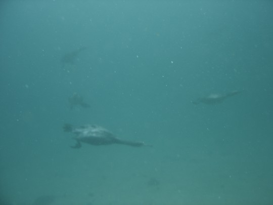 Cormorants underwater at Long Beach