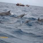 Bottlenose dolphins in Zanzibar