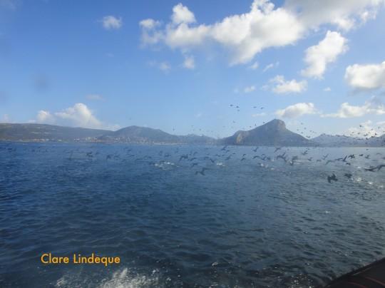 Flocking cormorants in False Bay